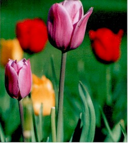 colorful tulips Mr. Braucht plants every Spring