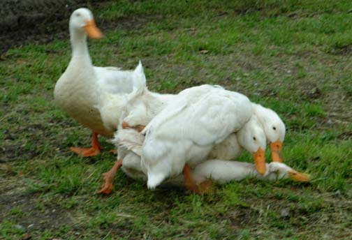 ducks don't have foreplay........