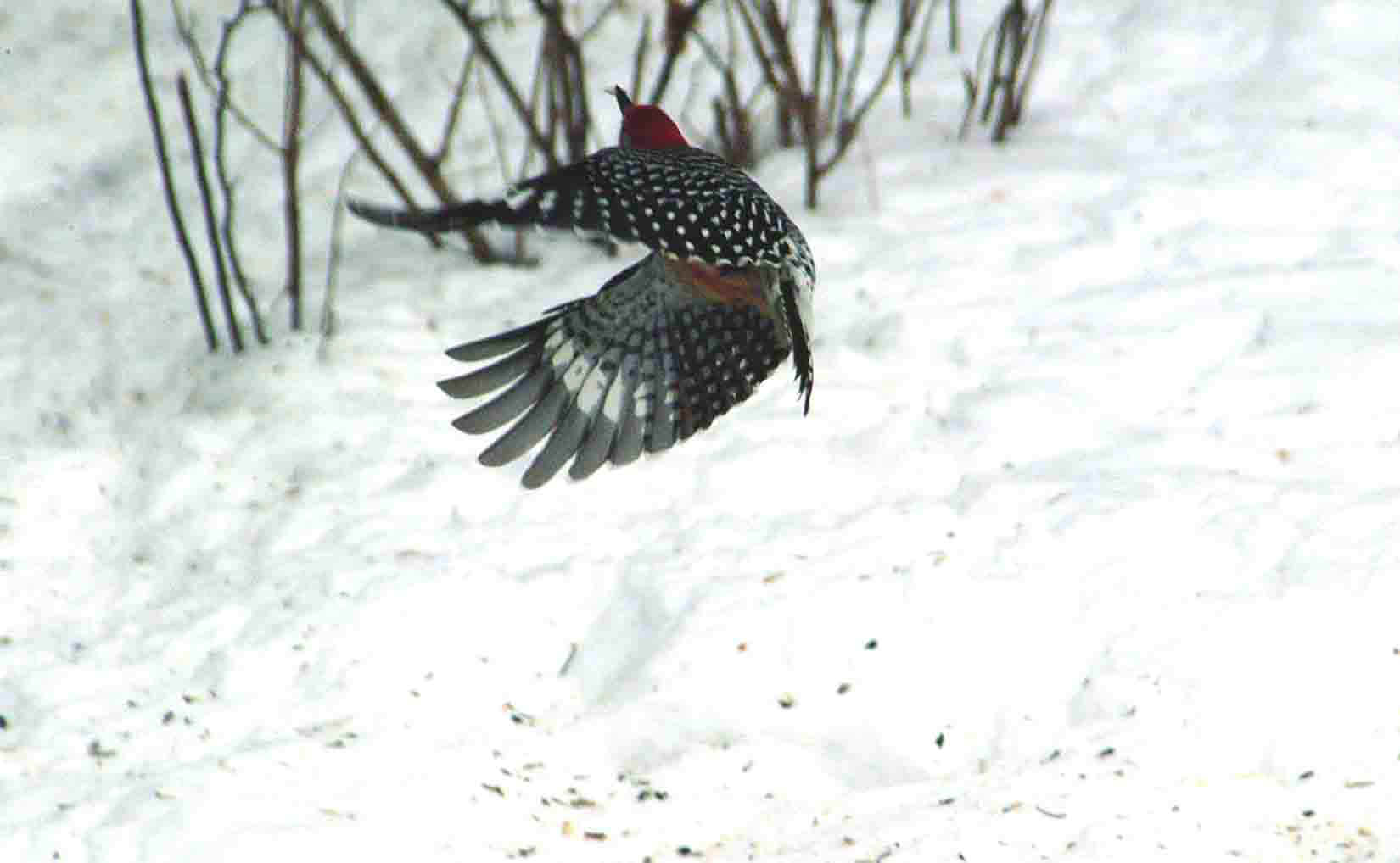 A red-bellied woodpecker in flight